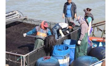 해남군, 2020년산 고품질 물김 생산 '돌입'...33억여원 투입 적극 지원