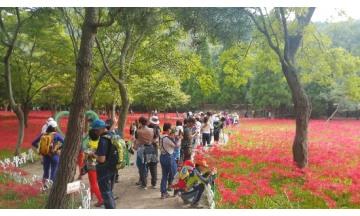 영광군, 제19회 영광불갑산상사화축제 오는 18일 개막